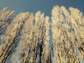 Álamos en invierno, Neuquén (Pablo Tittonell)
