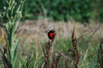 Pechito colorado (Sturnella supercilliaris) Gregorio Gavier)