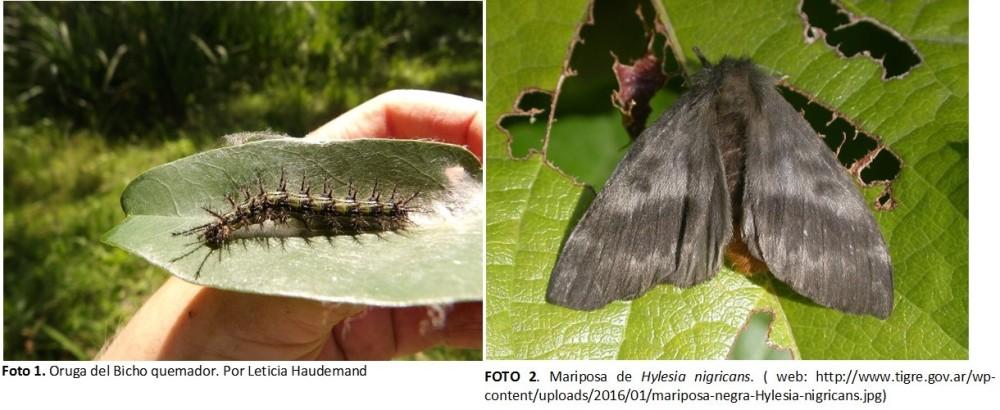 bicho-quemador-larva-y-mariposa